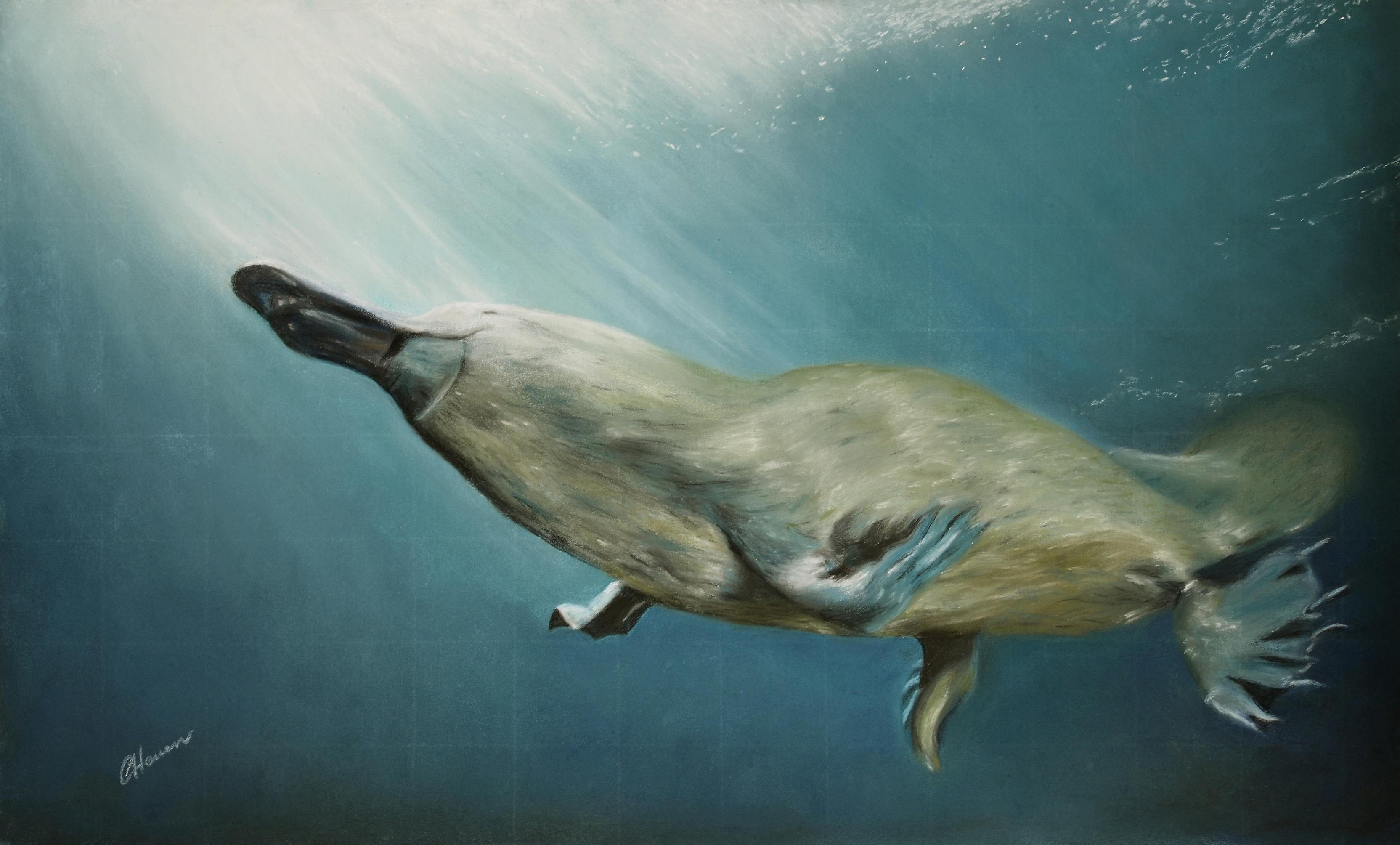 platypus medium 14112103 - Platypus Pictures To Print